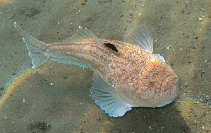 יצורים ממעמקי הים: אצטגנון
