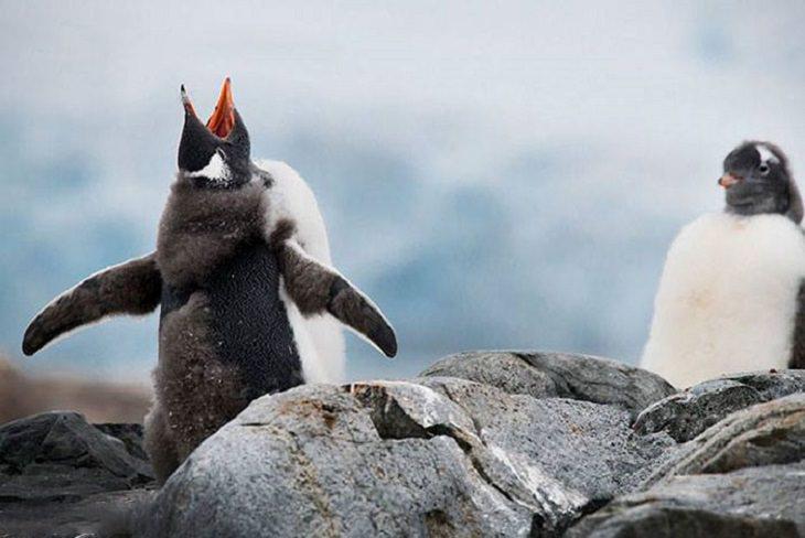 חיות מצחיקות: פינגווינים