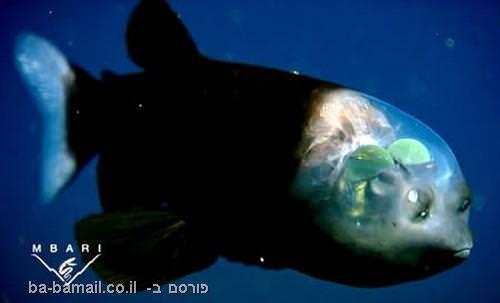 דג, ראש שקוף