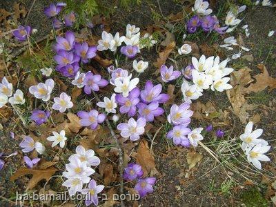 פרחים סגולים ולבנים