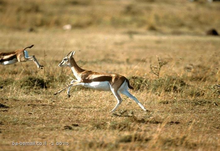 חיות, חיה, חיות מהירות, מהירות, טורפים, שיאים, צבי, צבאים, צבי תומסון