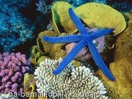 כוכב ים כחול