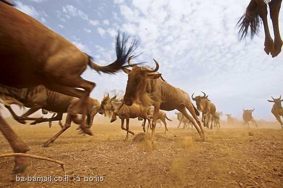 הנדידות הגדולות של בעלי-החיים