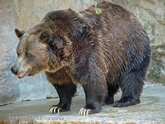 דובי גריזלי