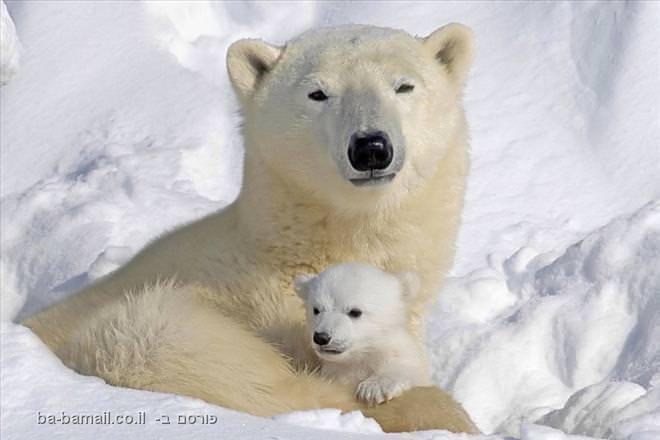 דובי הקוטב בואפוסק, מאינטובה, קנדה