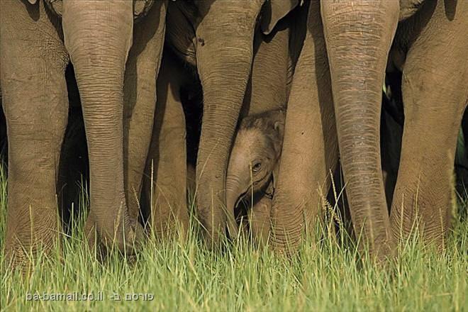 פילים בפארק הלאומי קורבט, הודו.