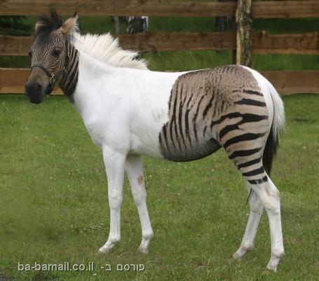 זברה, סוס, בעלי חיים, הכלאה, תמונות