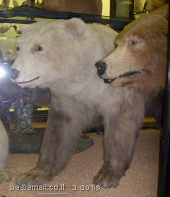 דב קוטב, גריזלי, בעלי חיים, הכלאה, תמונות