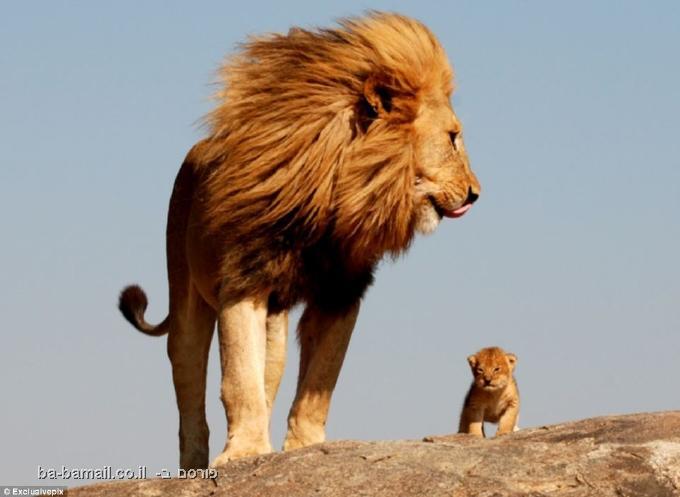 מלך האריות, סימבה, אריות, אריה, סרנגטי