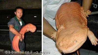 בעלי חיים יוצאי דופן, חיות מוזרות, סלמנדרה ענקית, סלמנדרה ענקית סינית