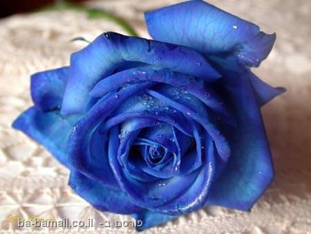 פרח, ורד כחול