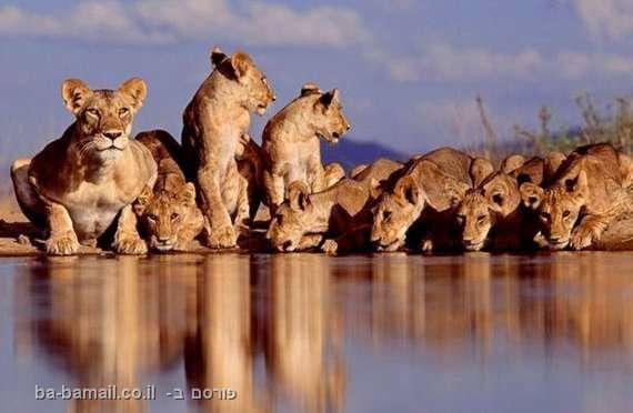 חיות באגם - תמונות מדהימות, אריות, לביאות, אריה, לביאה