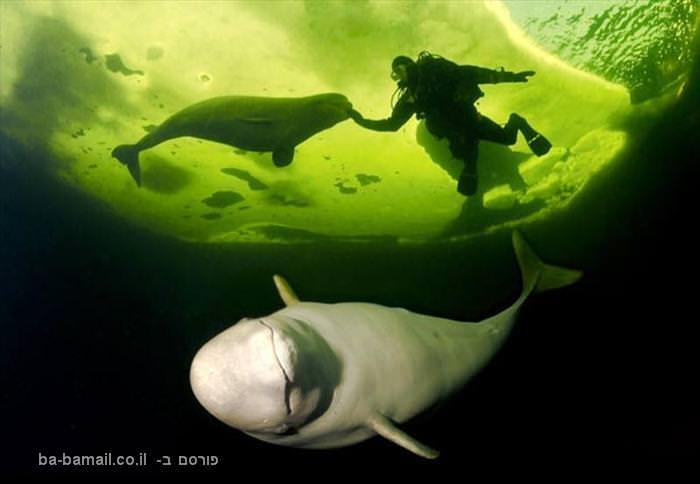 שחיה עם לוויתנים לבנים
