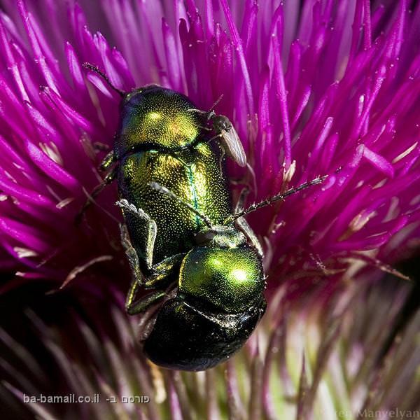 חרקים בקלוז אפ, פרח , חיפושית