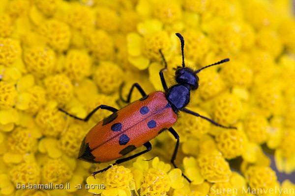 חרקים בקלוז אפ, חיפושית