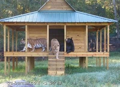 חיות, בעלי חיים, אריה, חברות, נמר, דוב