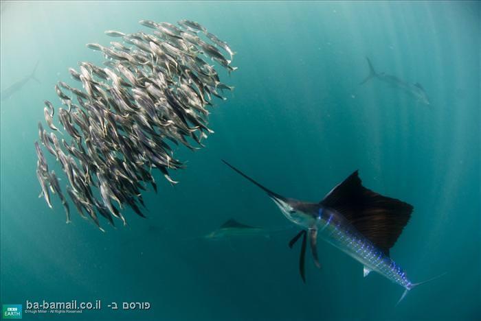 חיות, חיות צבעוניות, צבע, חיות יפות, מדהים, דג, דגים, מפרשן, דג חרב
