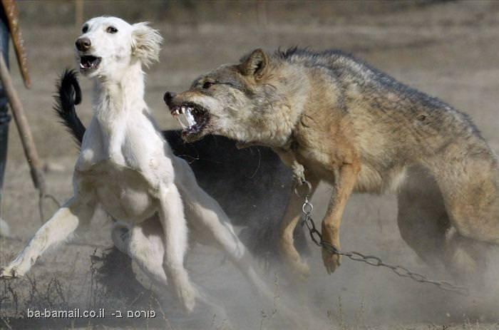 חיות, תמונות, מדהים, דרמטי, חיות, בעלי חיים, טבע, כלב, כלבים, מריבה