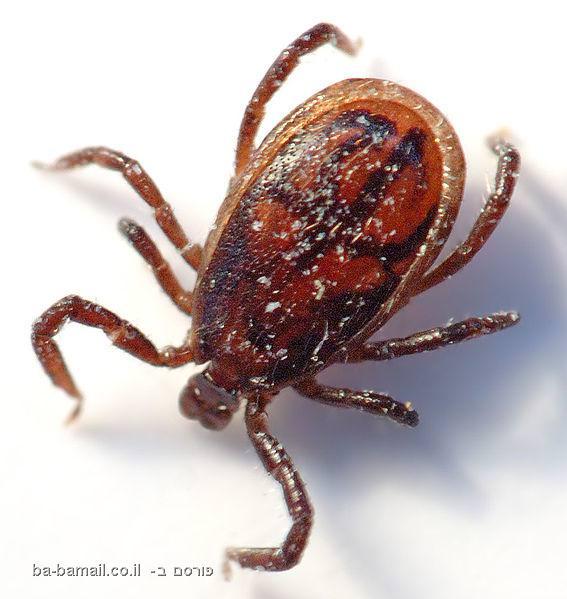 חרקים, חרקים מסוכנים,טבע, בעלי חיים, קרציות