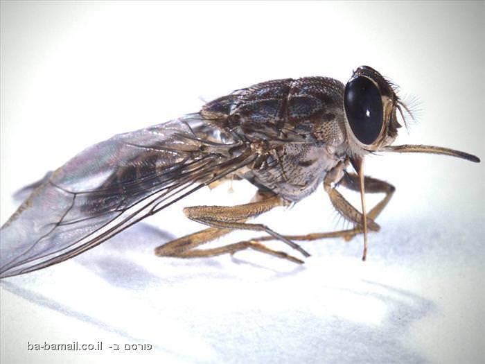 חרקים, חרקים מסוכנים,טבע, בעלי חיים, זבוה צה צה, זבוב