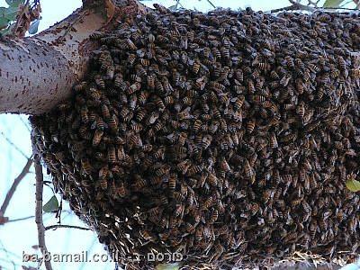 חרקים, חרקים מסוכנים,טבע, בעלי חיים, דבורים, דבורים אפריקאיות, דבורה