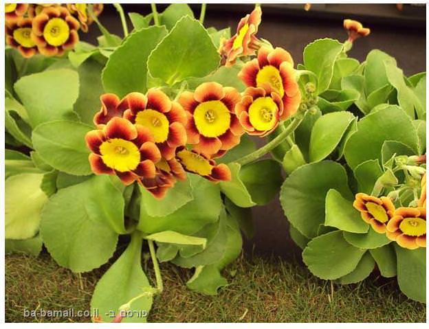 פרחים, תערוכת הפרחים של צ'לסי, סידור פרחים, גננות, אוזן הדב