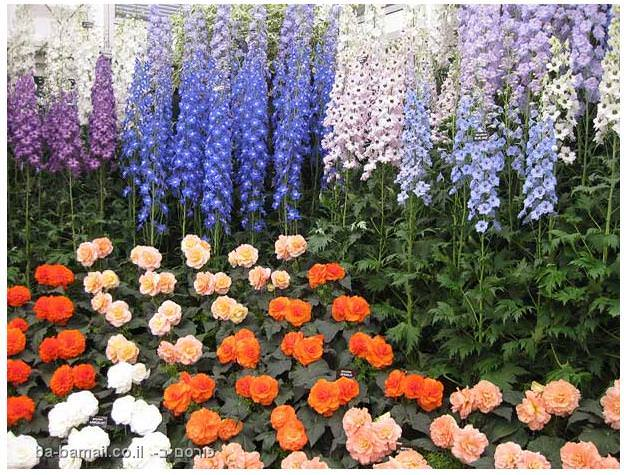 פרחים, תערוכת הפרחים של צ'לסי, סידור פרחים, גננות