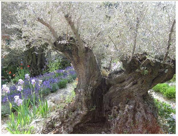 פרחים, תערוכת הפרחים של צ'לסי, סידור פרחים, גננות, עץ זית