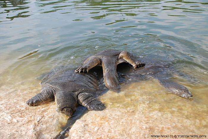 צבים רכים