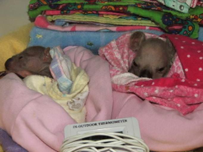 שמחה מהולה בעצב: גורי הקואלה שרדו, האם נהרגה