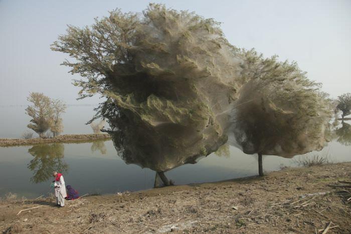ספיידרמן בפקיסטן? קורי עכביש אדירים כיסו את העצים