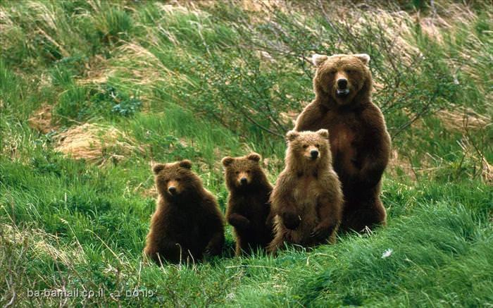 גורי דובים
