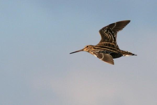 הציפור שעפה 6,500 ק``מ במהירות של 100 קמ``ש