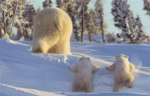 דובים הם לפעמים.. מדהימים! (בעריכה)