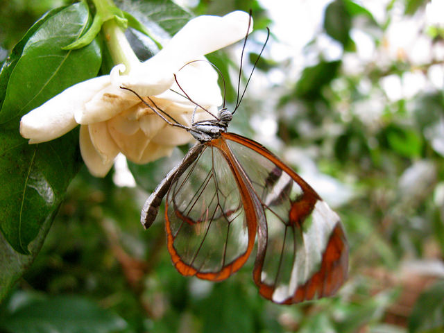 פרפר הזכוכית המופלא - יצור יפייפה! (בעריכה)