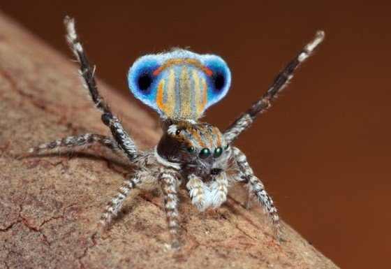 עכביש הטווס