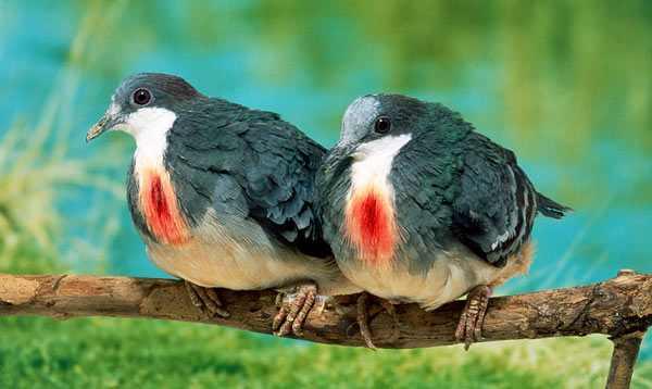 עופות