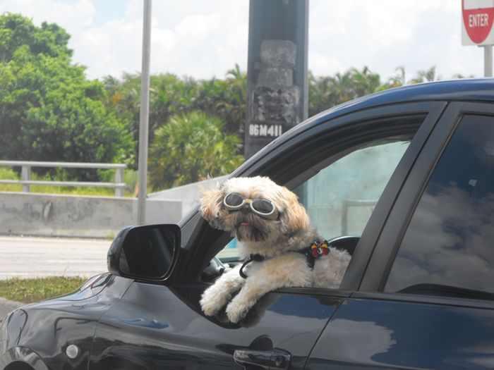 כלבים עם משקפי שמש