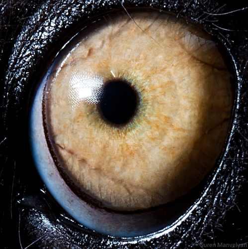 עיניים של בעלי חיים בצילומי תקריב