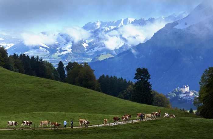 הכנת גבינה שוויצרית מסורתית