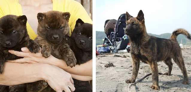 גזעים נדירים של כלבים