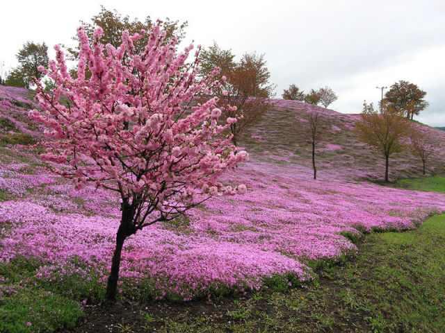 פארק פרחים ורוד ביפן