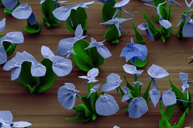 פרחים מיקרוסקופיים