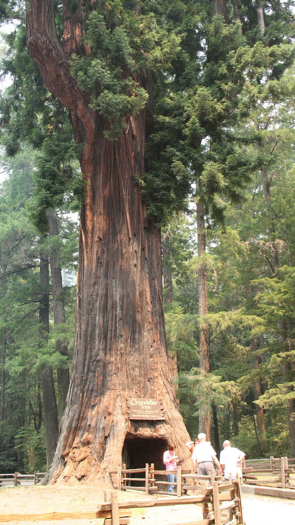 עצים מפורסמים