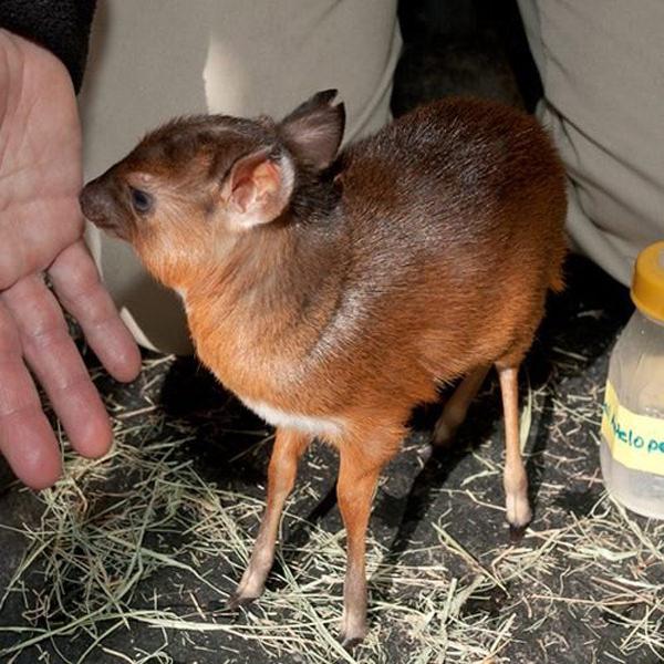 אולטרה מידי בעלי חיים ננסיים | מן הטבע - בא-במייל EI-35