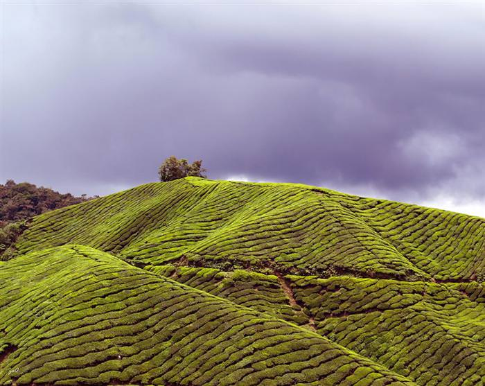 תמונות מדהימות של מטעי תה