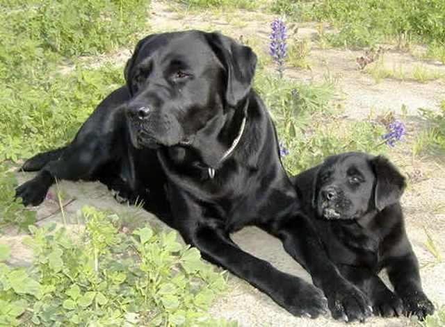 כלבים מצילי חיים