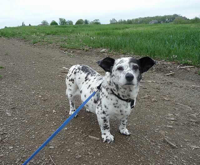 כלבי תערובת