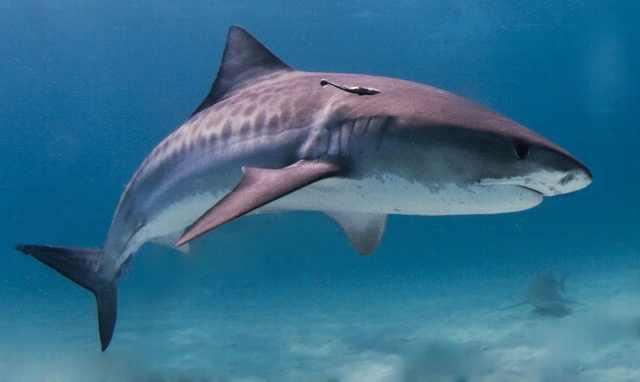 כרישים
