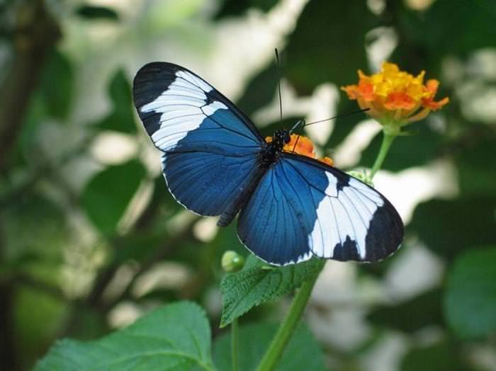 פרפרים נכחדים